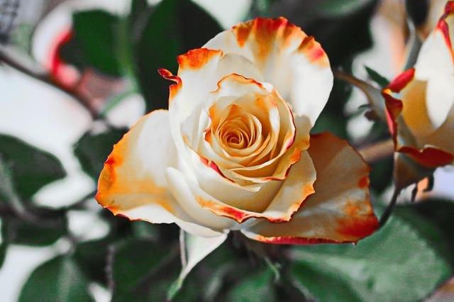 rose-235718_960_720.jpg